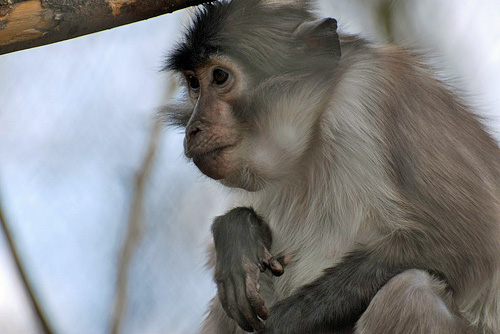 White-Naped Mangabey taken on Nikon D200